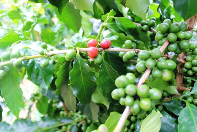 Giá cà phê hôm nay 3/5: Tăng 200 - 300 đồng/kg tại các địa phương