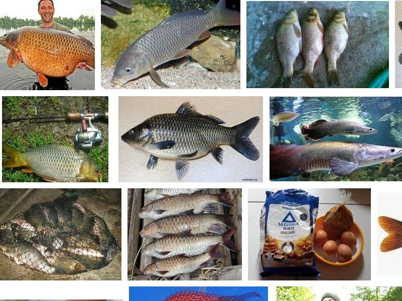Makanan Ikan Tombro