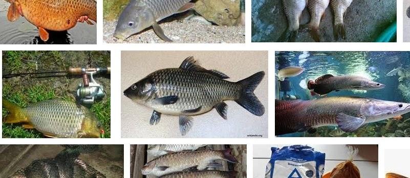 Makanan Ikan Tombro yang Berkualitas untuk Pertumbuhan