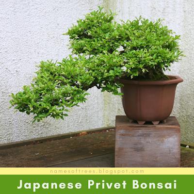 Japanese Privet Bonsai