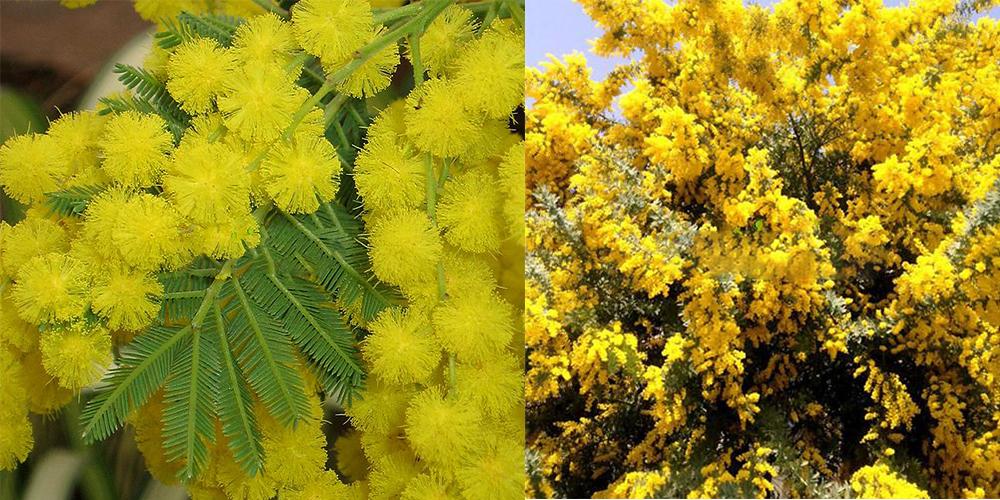 50pcs golden mimosa seeds beautiful acacia baileyana yellow wattle applications farmbalcony roof garden windows mightylinksfo