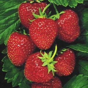 Manfaat Buah Strawberry Bagi Kesehatan