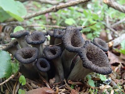 Lejkowiec dęty Craterellus cornucopioides