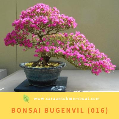 Bonsai Bugenvil (016)