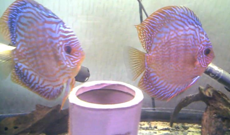 Discus Fish Water Temp What Is The Suitable Water