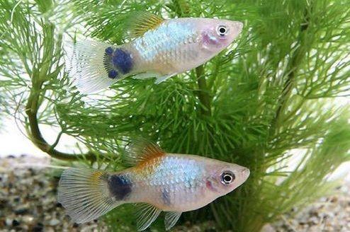 Ikan Platy Cocok dengan Manfish