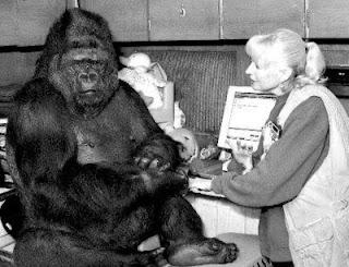 koko gorila monyet yang terkenal di dunia