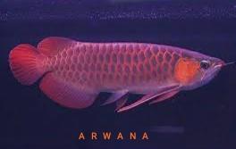 Gambar ikan arwana Afrika