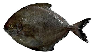 Manfaat Ikan Bawal Hitam