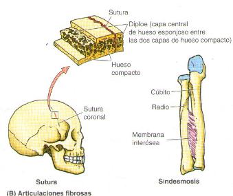 que es diartrosis anfiartrosis y sinartrosis