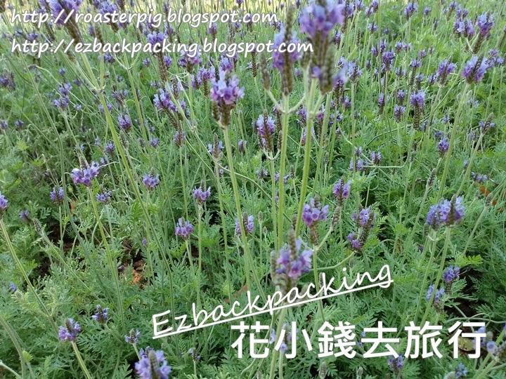 香港鼠尾草2021