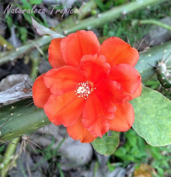 Flor de Pereskia, muy parecida a la flor de una rosa salvaje.