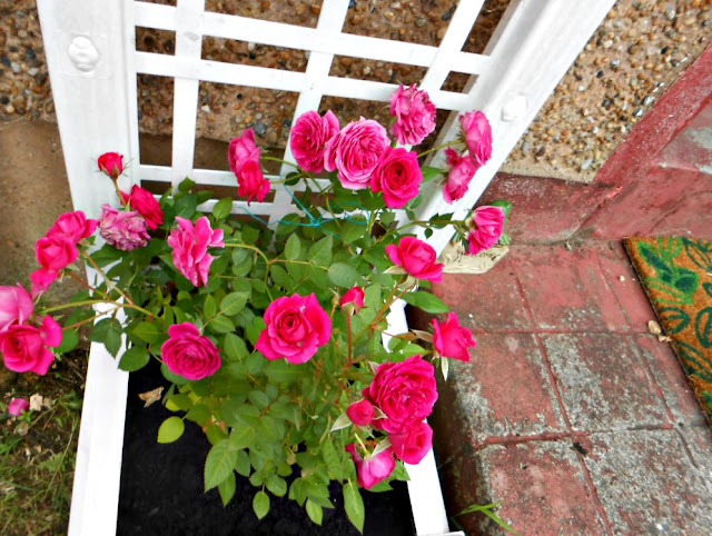 Miniature roses are happily settled into their new planter.