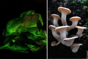 Types Of Oyster Mushroom