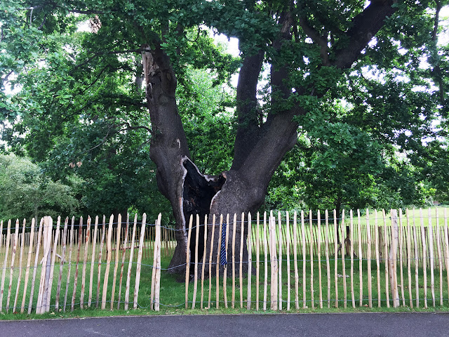 Fence around pollarded veteran oak in The Knoll, Hayes, 25 July 2017.