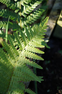 a fern - A Stubborn Optimist - an ecotherapy blog - C.Gault 2019