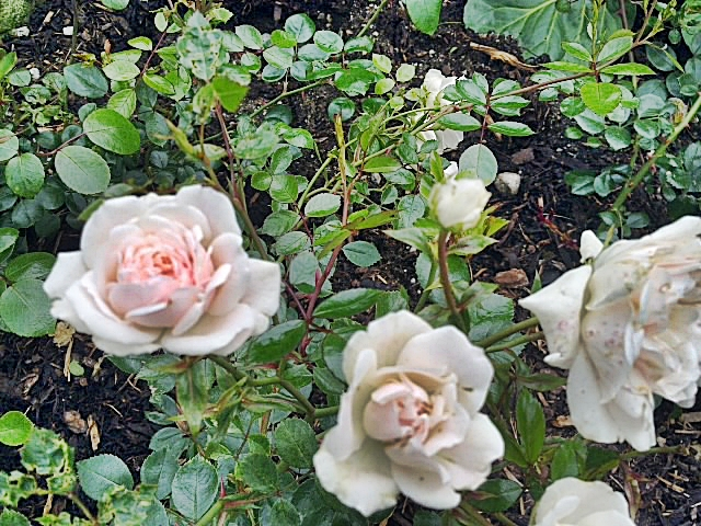 Bunndekkende roser