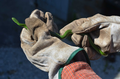 Smooth Green Snake at Roche Fleurie Garden