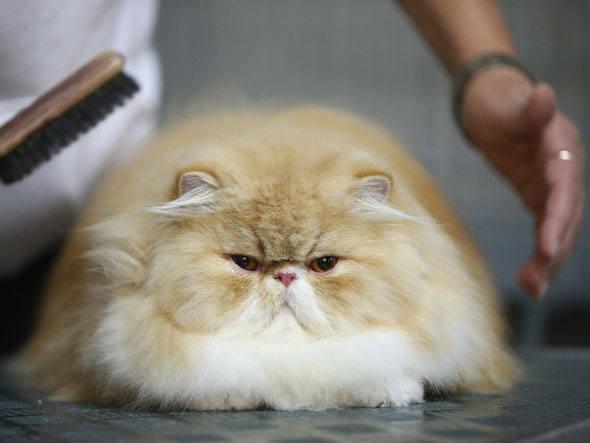 adopt a pet  Queda de cabelo em gatos
