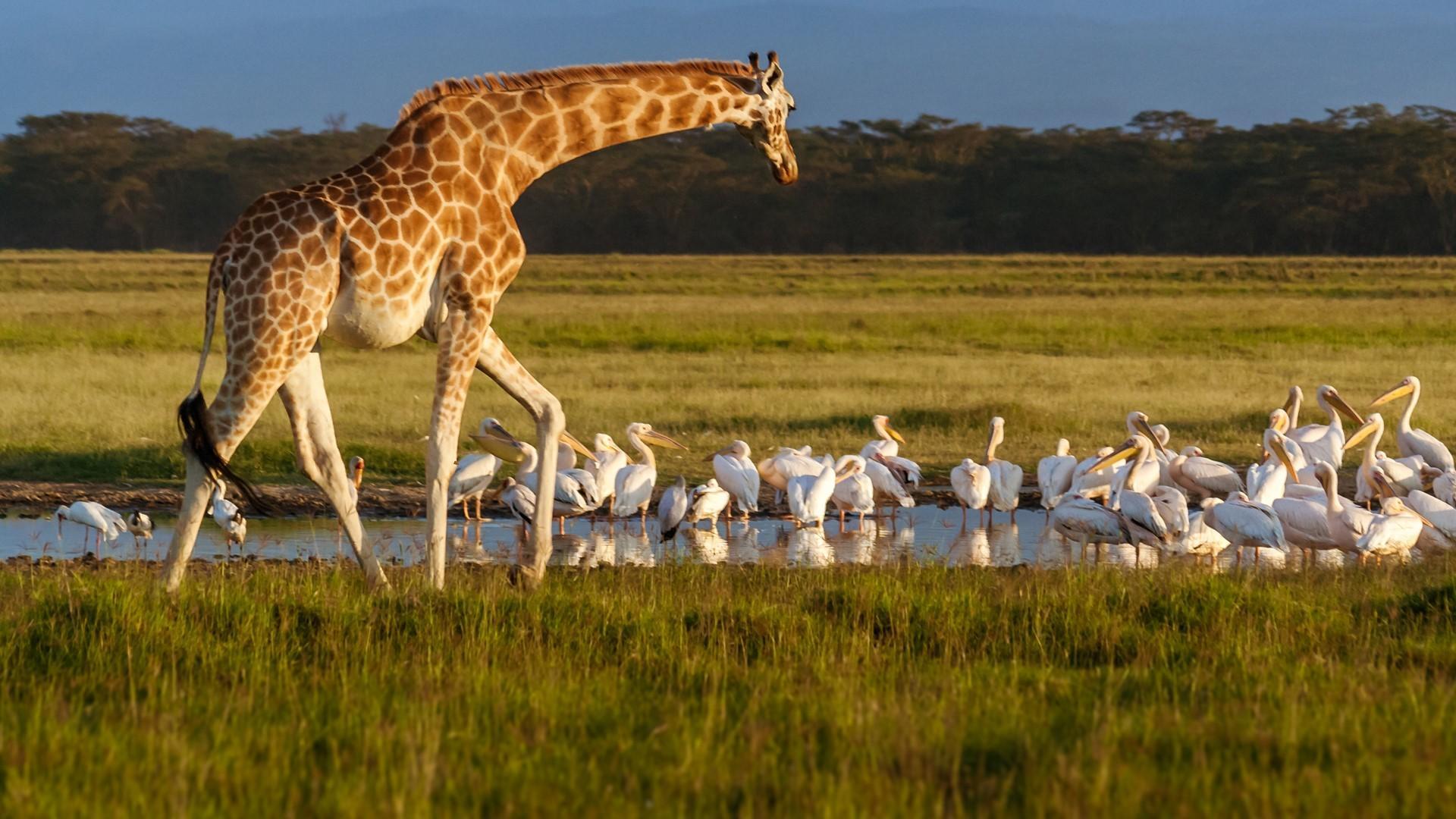 Животные и птицы озера Накуру в Кении