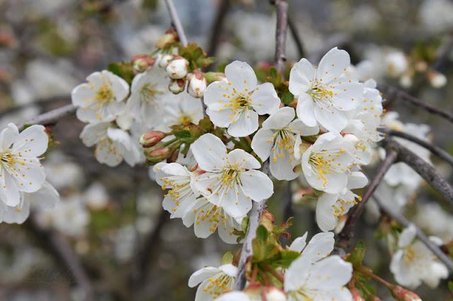 Weiße Kirschbaumblüten