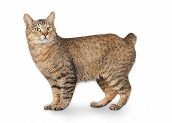 American Bobtail Kedisi Özellikleri ve Bakımı Nasıldır ?