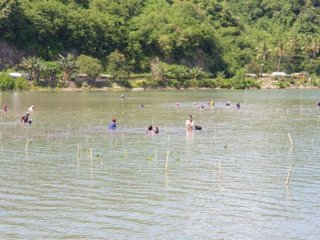 Rehabilitasi Pesisir Lombok Barat, KKP Tanam 50.000 Bibit Mangrove