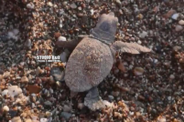 Εκπληκτικό βίντεο με τα πρώτα χελωνάκια που γεννήθηκαν σε παραλία του Ναυπλίου