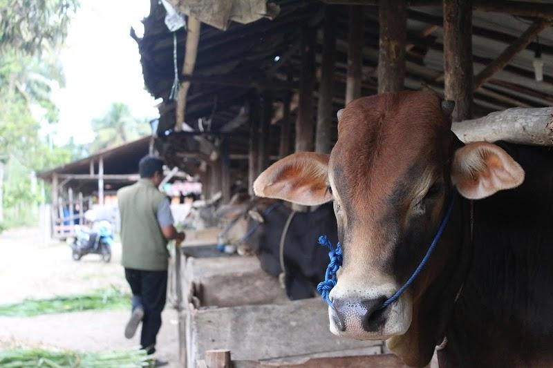 Dinas Pertanian Kota Padangsidimpuan Memeriksa Kesehatan Hewan Kurban Menjelang Idul Adha 1440