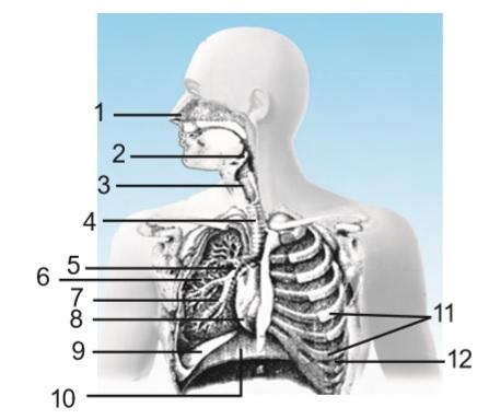 Sistem Pernapasan Pada Manusia Materi Pelajaran Ipa Sd Mi Kelas 5