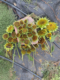 Group of Sunflowers Drying