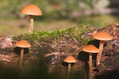 Hongo pholiota utilizado en terrarios