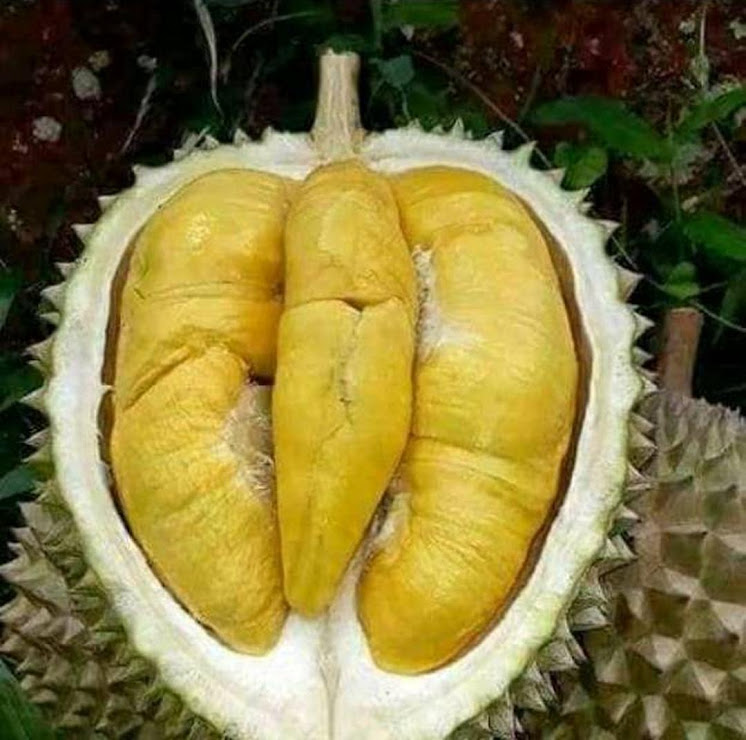 Bibit Durian Musangking Bontang