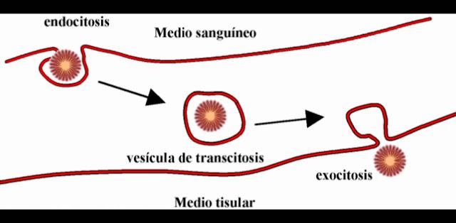 Transcitosis y biologia