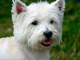 La principal diferencia es el tamaño del perro. El Soft Coated Wheaten Terrier tiene una capa corta que no arroja mucho durante el día. Los perros deberán ser arreglados con la misma frecuencia que otras razas hipoalergénicas para evitar aglutinamientos o erupciones en la piel.