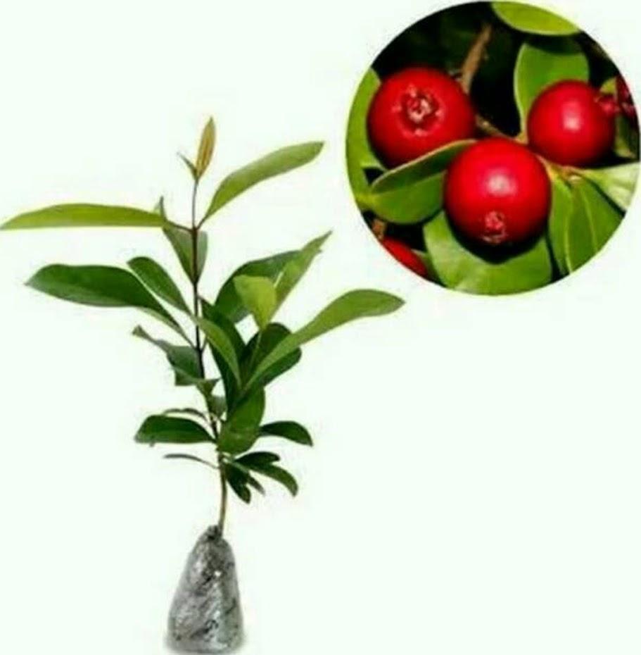 Bibit Tanaman Buah Jambu Strawberry atau Jambu Leci Balikpapan