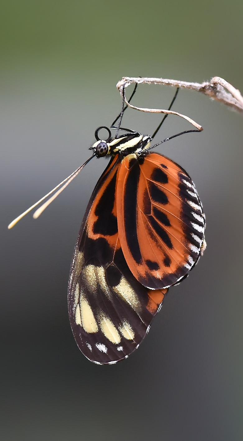 Heliconius butterfly hanging upside down.