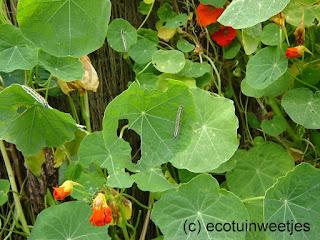 bladluizen bestrijden, ecologisch, oost-indische kers, rupsen koolwitje