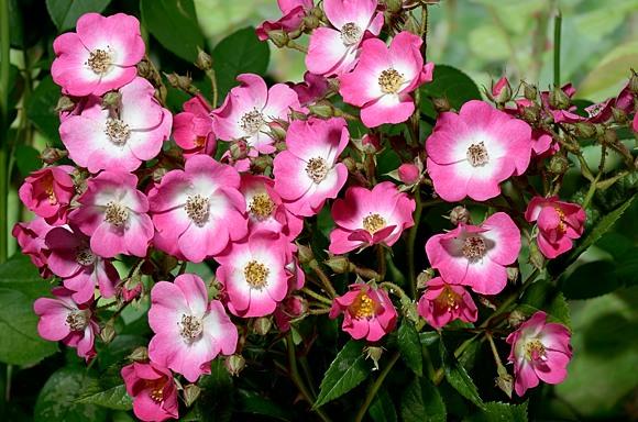 Mozart rose сорт розы фото