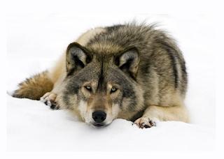 """Αποτέλεσμα εικόνας για Με εκτίμηση, """"Ο λύκος"""""""