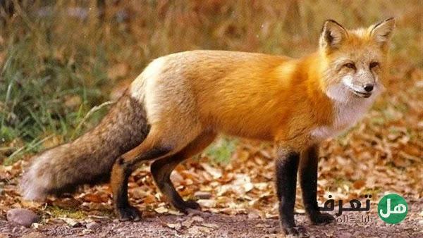 هل تعرف أهم المعلومات عن الثعلب important information about the fox
