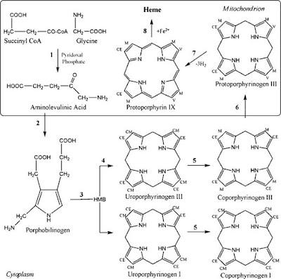 Cobalamin Deficiency (Vitamin B12)