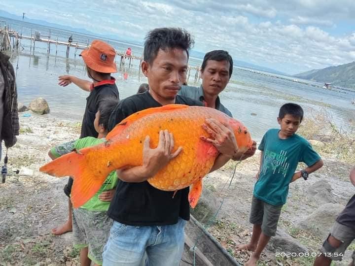 Gambar Nelayan Dan Ikan Mas Ikan Mas Raksasa Ini Diminta Dikembalikan Ke Danau Toba Kenapa Lintas Publik