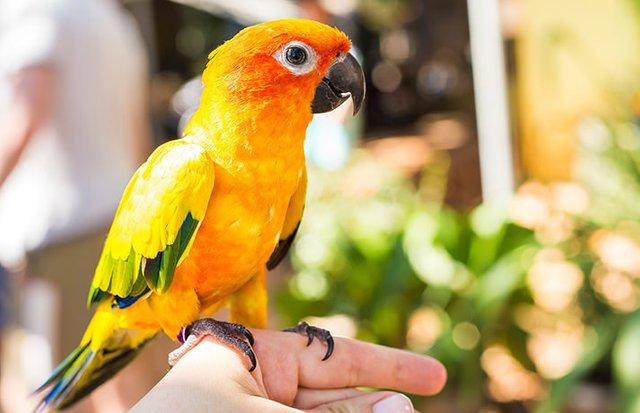Infeksi Mata pada Burung Lovebird
