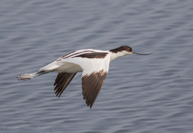Pied avocet in flight over the Diep River Woodbridge Island - Low light photography