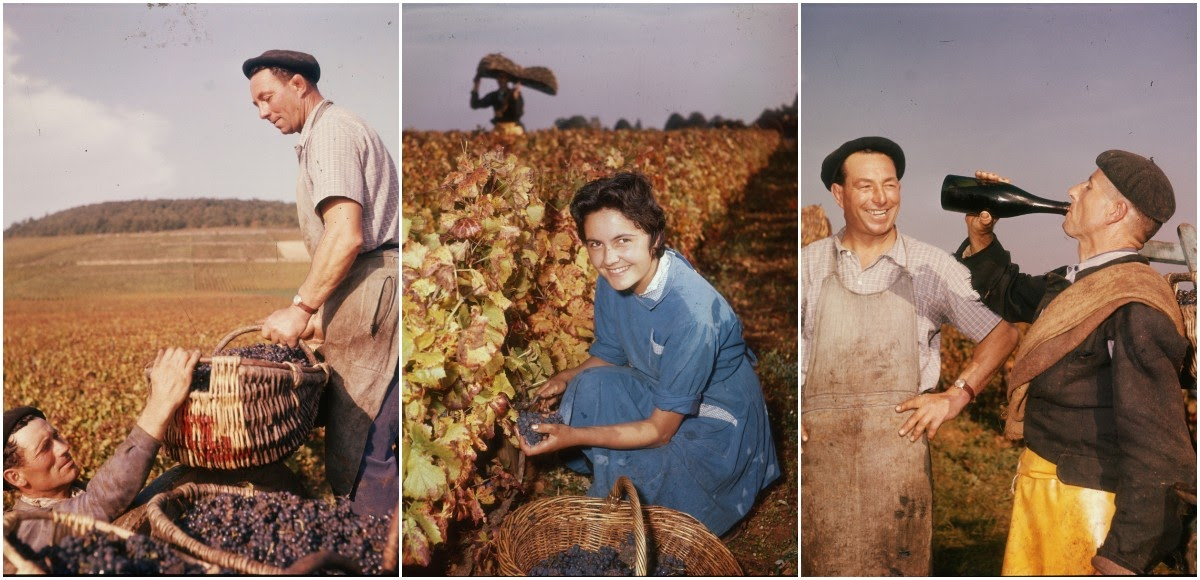 Vinification: Wonderful Color Photographs Capture the Process of Turning the Grapes Into Wine in Burgundy, 1958