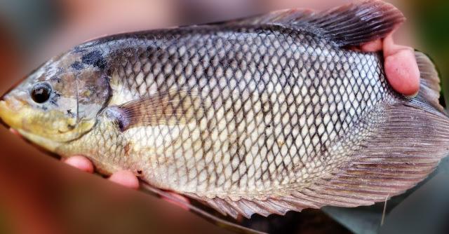 Budi Daya Ikan Gurame : Cara Tepat Agar Cepat Panen Ikan Gurame