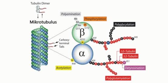 Proses Pembentukan Mikrotubulus