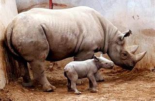 Foto de una rinoceronte con su pequeño hijo