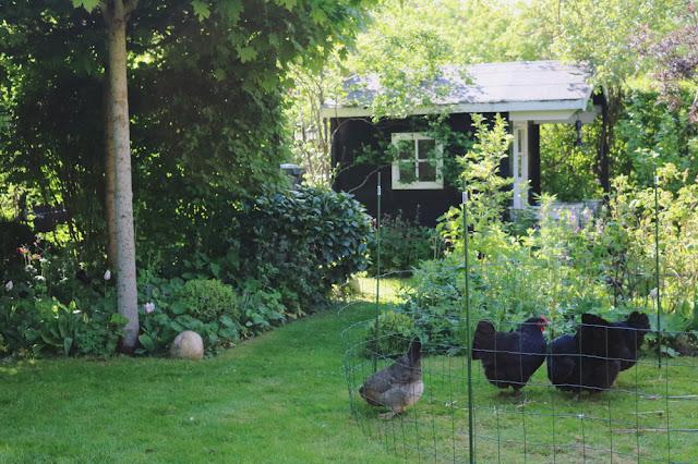 Høns i villahaven gør havelivet endnu sjovere